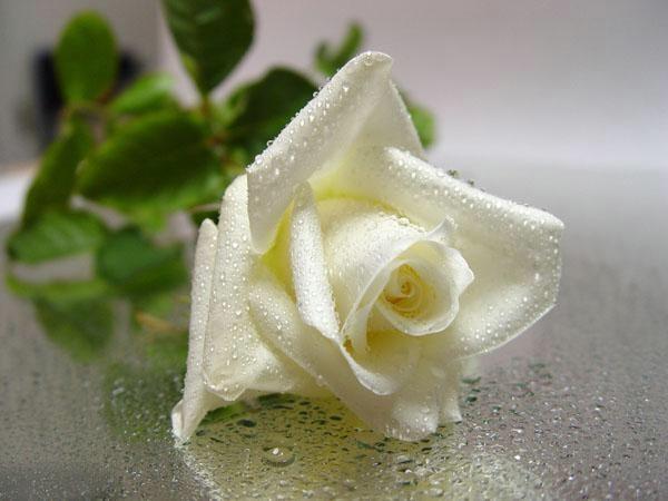 بالصور صور ورد ابيض روعه , خلفيات زهور بيضاء تجن 3809 2