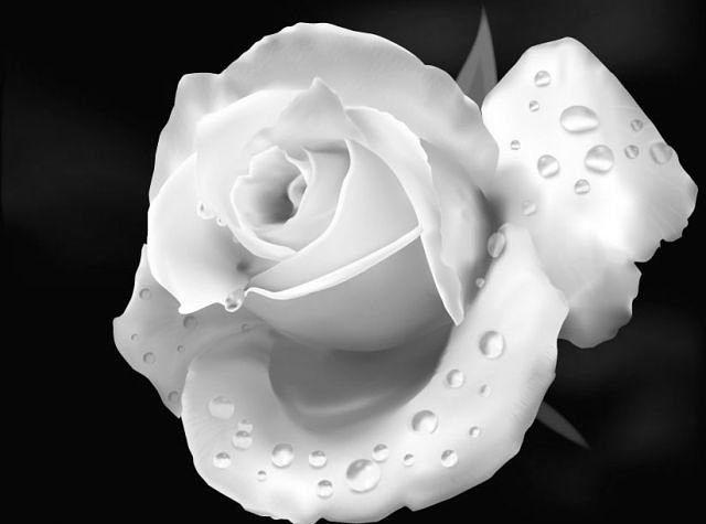 بالصور صور ورد ابيض روعه , خلفيات زهور بيضاء تجن 3809 3