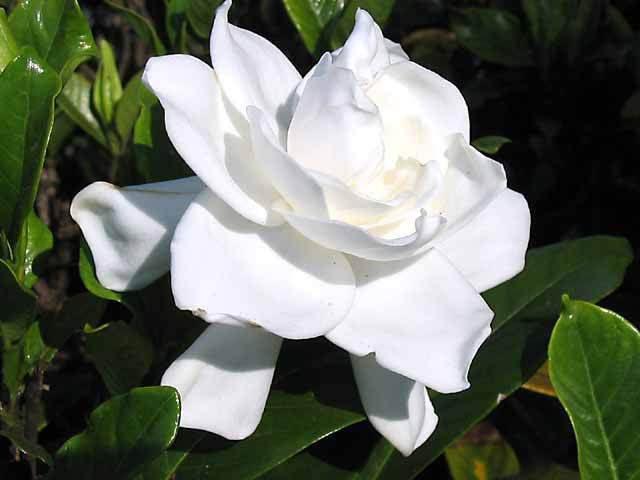 بالصور صور ورد ابيض روعه , خلفيات زهور بيضاء تجن 3809 5