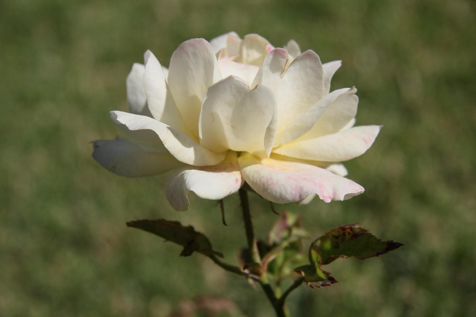 بالصور صور ورد ابيض روعه , خلفيات زهور بيضاء تجن 3809 6
