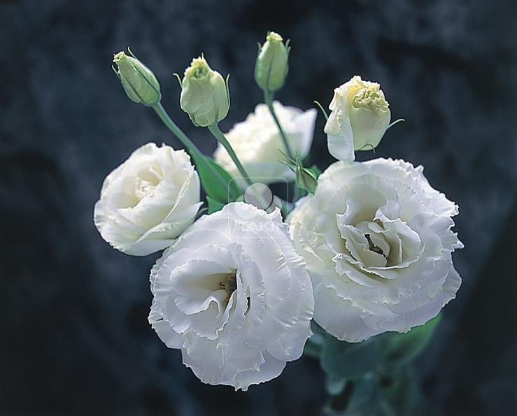 بالصور صور ورد ابيض روعه , خلفيات زهور بيضاء تجن 3809 7