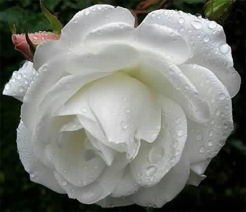 بالصور صور ورد ابيض روعه , خلفيات زهور بيضاء تجن 3809 8