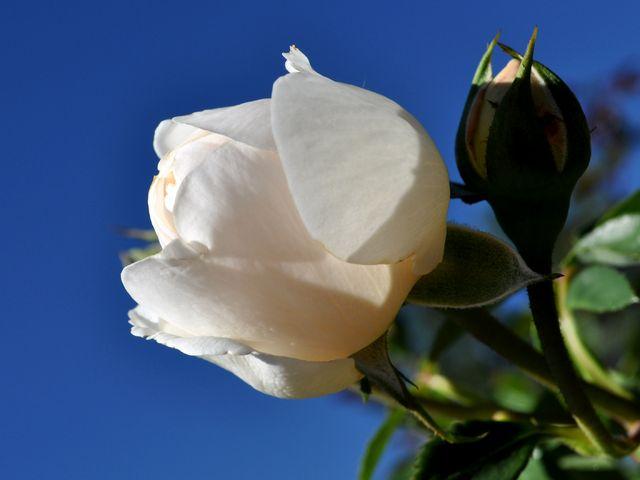 بالصور صور ورد ابيض روعه , خلفيات زهور بيضاء تجن 3809 9