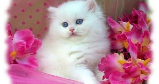 صور قطط بيضاء لكل عشاق القطط , صورة قطة جميلة باللون الابيض