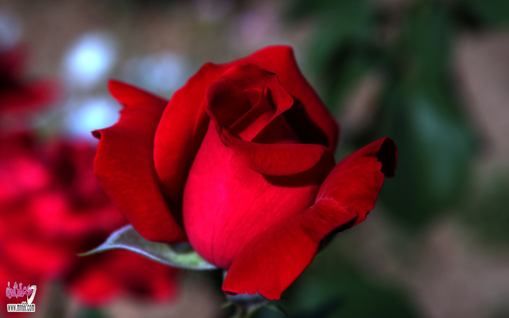 بالصور صور اجمل وردة بالعالم , اجمل صور ورد بالعالم ورد ولااروع 3943 2