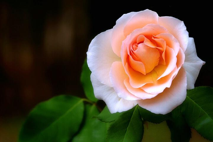 بالصور صور اجمل وردة بالعالم , اجمل صور ورد بالعالم ورد ولااروع 3943 3