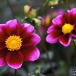 صور ازهار روعة , زهور وورود شكلها حلوة