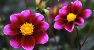 صوره صور ازهار روعة , زهور وورود شكلها حلوة