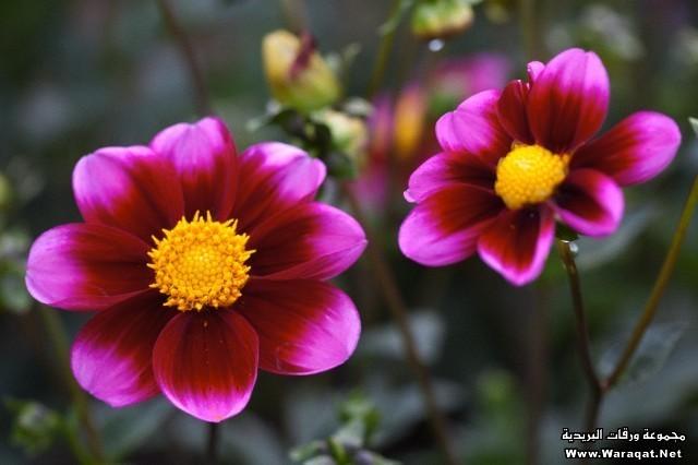صور صور ازهار روعة , زهور وورود شكلها حلوة
