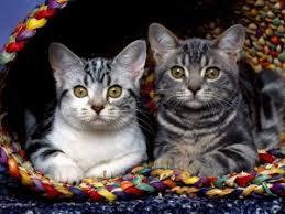صور خلفيات للكمبيوتر اجمل خلفيات قطط خلفيات جديدة قطط , اجمل خلفية صورة قطة تجنن