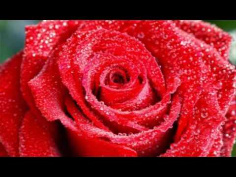 بالصور صور ورود حمراء اجمل واحلي صور ورود حمراء احدث صور ورود حمراء , خلفيات لعشاق الرومانسية 4315 2