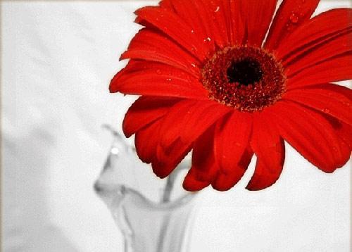 بالصور صور ورود حمراء اجمل واحلي صور ورود حمراء احدث صور ورود حمراء , خلفيات لعشاق الرومانسية 4315 4