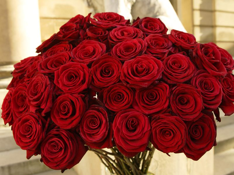 صوره صور ورود حمراء اجمل واحلي صور ورود حمراء احدث صور ورود حمراء , خلفيات لعشاق الرومانسية