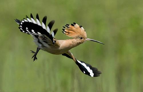 صور صور هدهد تجنن , خلفيات طيور روعه