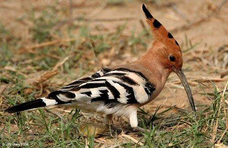 بالصور صور هدهد تجنن , خلفيات طيور روعه 4339 2