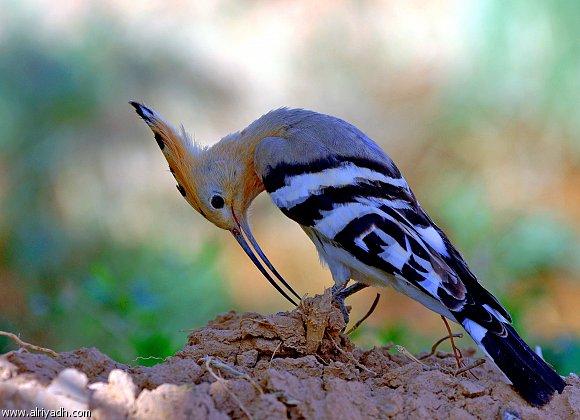 بالصور صور هدهد تجنن , خلفيات طيور روعه 4339 4