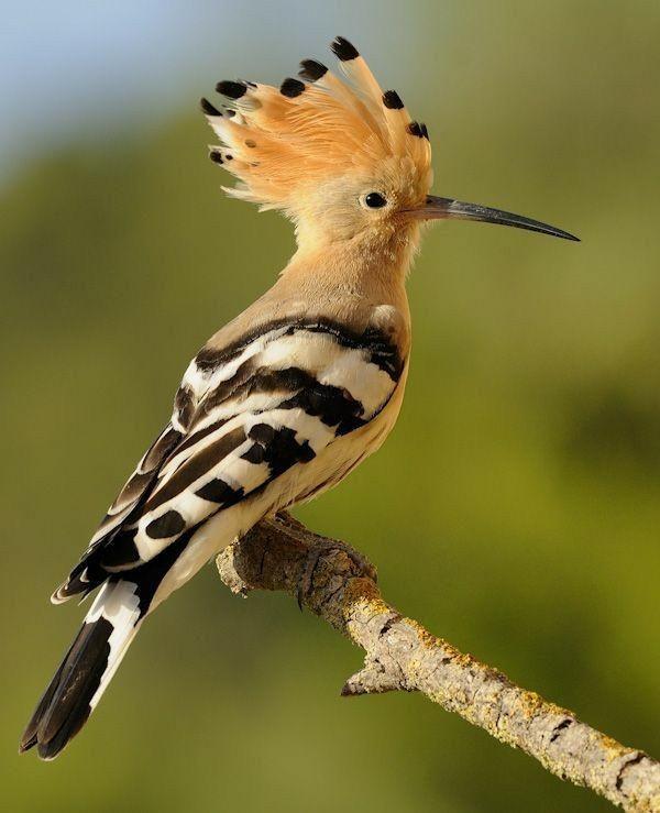 بالصور صور هدهد تجنن , خلفيات طيور روعه 4339 5