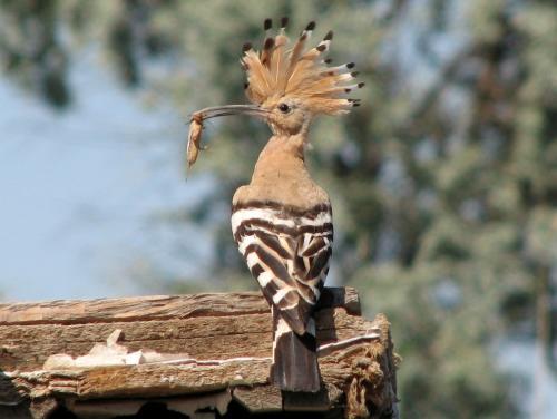 بالصور صور هدهد تجنن , خلفيات طيور روعه 4339 7