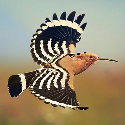 بالصور صور هدهد تجنن , خلفيات طيور روعه