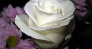 صور اجمل باقات الورد الابيض باقات ورد جوري ابيض , ورود لاصحاب القلب الابيض