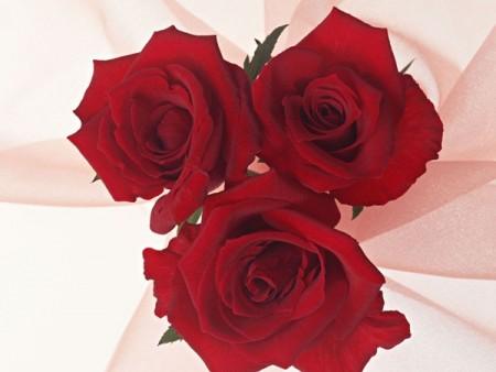 بالصور صور ورد طبيعى صور ورد حلو صور الورد طبيعى , خلفيات للزهور الطبيعية 3825 4