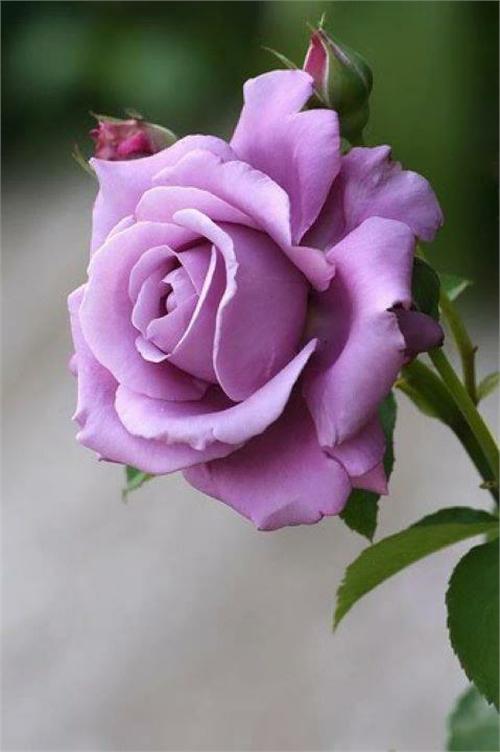 بالصور صور ورد طبيعى صور ورد حلو صور الورد طبيعى , خلفيات للزهور الطبيعية 3825 5