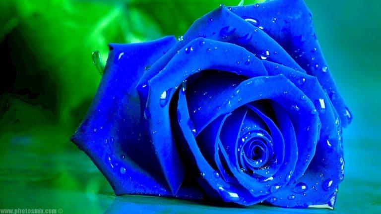 بالصور صور ورد طبيعى صور ورد حلو صور الورد طبيعى , خلفيات للزهور الطبيعية 3825 7