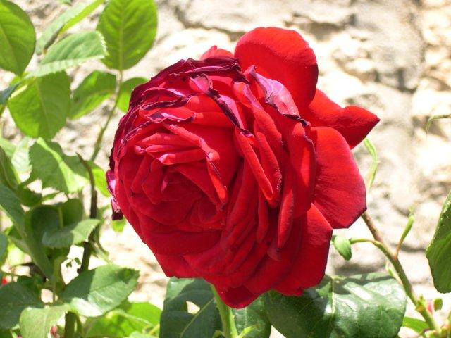 بالصور صور ورد احمر , اجمل صور ورود حمراء متحركة صور زهور و ورد باللون الاحمر 3949 3