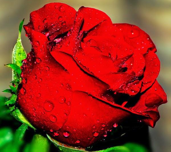 بالصور صور ورد احمر , اجمل صور ورود حمراء متحركة صور زهور و ورد باللون الاحمر 3949 7