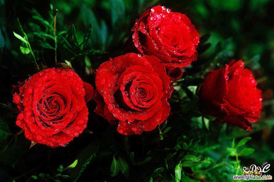 بالصور صور ورود روعه , lovely roses photos 3966 3