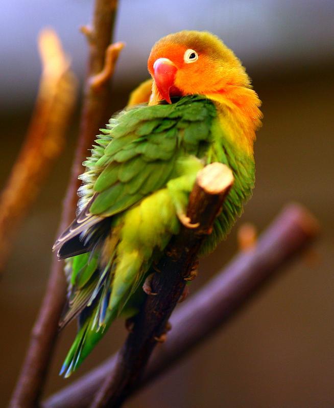 بالصور صور ببغاوات اجمل صور طيور صور عصافير روعه , احلي بوستات للعصفور 4004 2