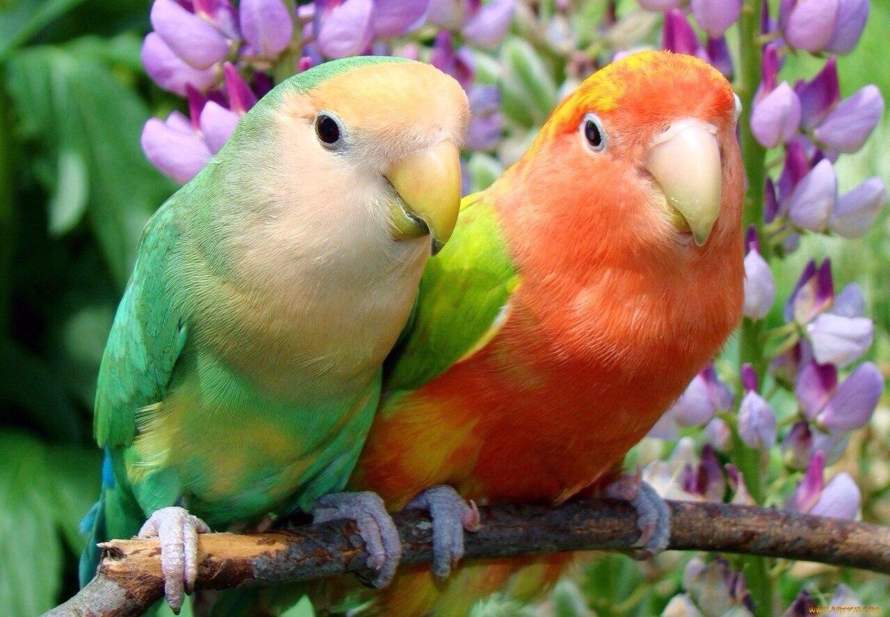 بالصور صور ببغاوات اجمل صور طيور صور عصافير روعه , احلي بوستات للعصفور 4004 5