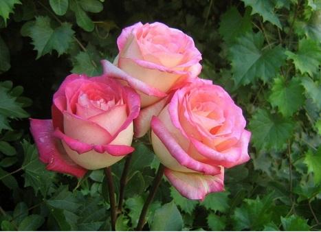 صوره صور الورد , صورة ورد في غاية الجمال