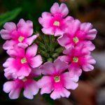 صور الورد , صورة ورد في غاية الجمال