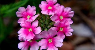 بالصور صور الورد , صورة ورد في غاية الجمال 4260 10 310x165