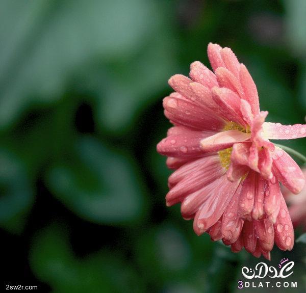 بالصور صور الورد , صورة ورد في غاية الجمال 4260 2