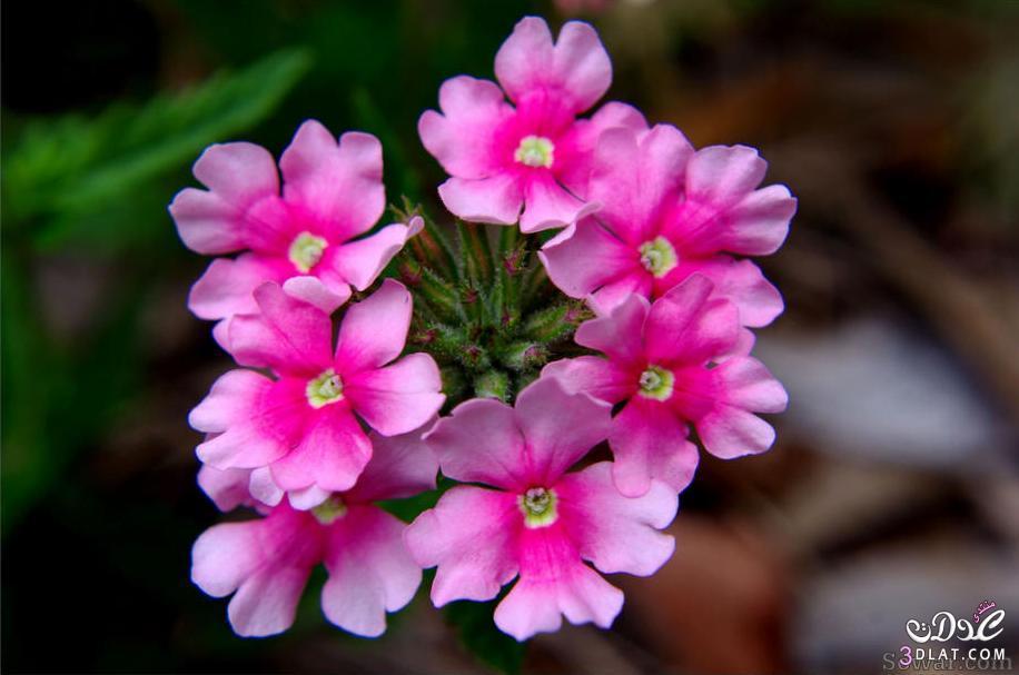صور صور الورد , صورة ورد في غاية الجمال
