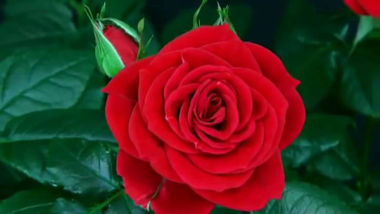 بالصور صور ورد احمر اجمل صور الورد الاحمر ورود حلوة , خلفيات زهور ملونه 4458 4