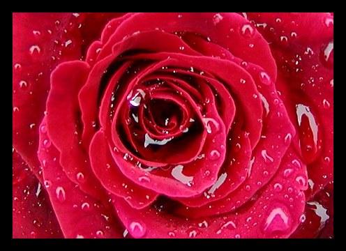 بالصور صور ورد احمر اجمل صور الورد الاحمر ورود حلوة , خلفيات زهور ملونه 4458 6