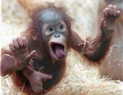 بالصور صور القرود اجمل صور القرود صور قرود مضحكة , خلفيات للشمبانزي روعه 4504 1