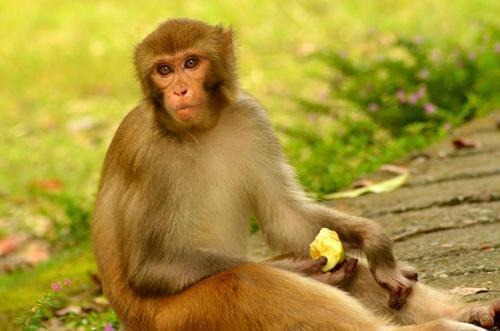 بالصور صور القرود اجمل صور القرود صور قرود مضحكة , خلفيات للشمبانزي روعه 4504 2