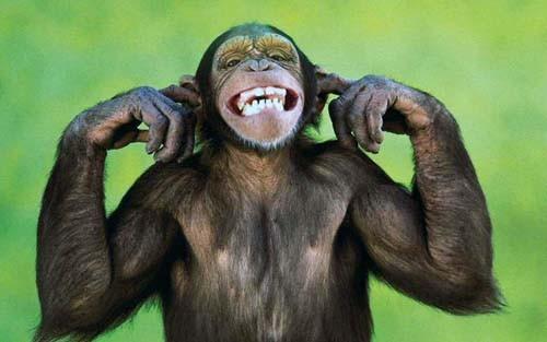 بالصور صور القرود اجمل صور القرود صور قرود مضحكة , خلفيات للشمبانزي روعه 4504 3