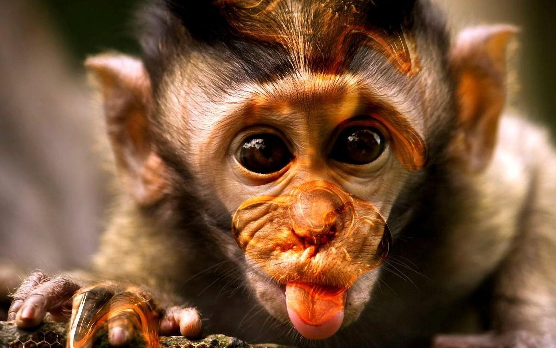 بالصور صور القرود اجمل صور القرود صور قرود مضحكة , خلفيات للشمبانزي روعه 4504 6