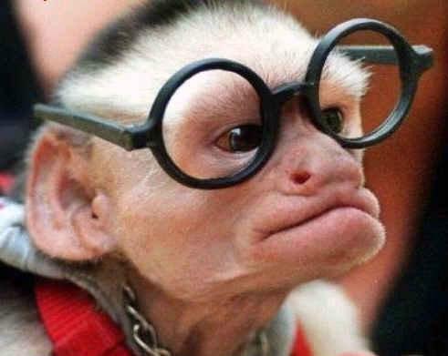 بالصور صور القرود اجمل صور القرود صور قرود مضحكة , خلفيات للشمبانزي روعه 4504 7