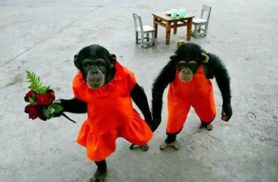 بالصور صور القرود اجمل صور القرود صور قرود مضحكة , خلفيات للشمبانزي روعه 4504 8