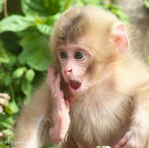 صور صور القرود اجمل صور القرود صور قرود مضحكة , خلفيات للشمبانزي روعه