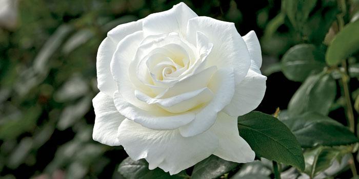 بالصور صور ورد ابيض اجمل صور ورود بيضاء متحركة صور زهور و ورد باللون الابيض . بوكيه للورود باللون الابيض 4563 1