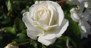 بالصور صور ورد ابيض اجمل صور ورود بيضاء متحركة صور زهور و ورد باللون الابيض . بوكيه للورود باللون الابيض 4563 10 310x165