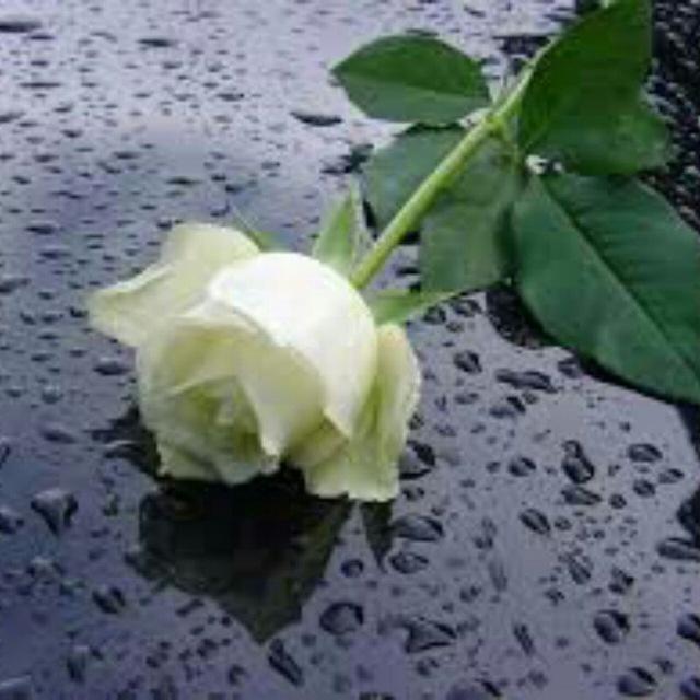 بالصور صور ورد ابيض اجمل صور ورود بيضاء متحركة صور زهور و ورد باللون الابيض . بوكيه للورود باللون الابيض 4563 2