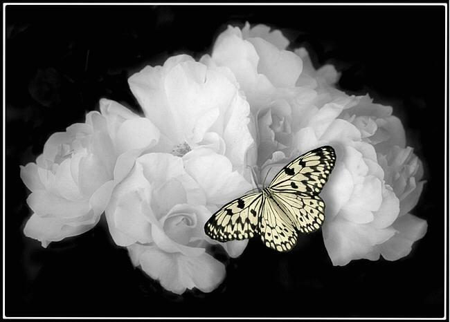 بالصور صور ورد ابيض اجمل صور ورود بيضاء متحركة صور زهور و ورد باللون الابيض . بوكيه للورود باللون الابيض 4563 4